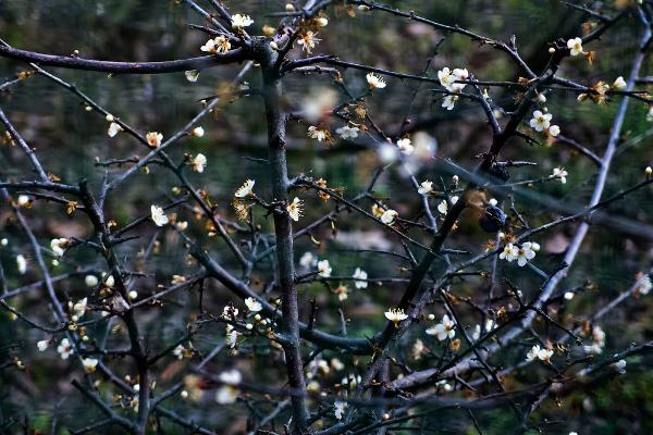 """""""Cudowna tarnina"""" z Bra, kwitnąca dwa razy w roku, na pamiątkę interwencji Matki Bożej"""